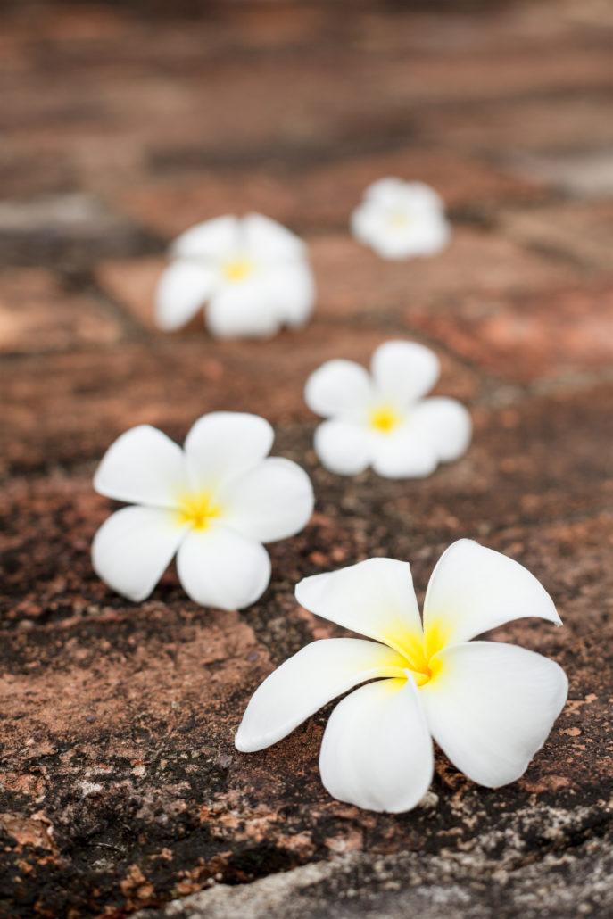 Five frangipani (plumeria) flowers on stones