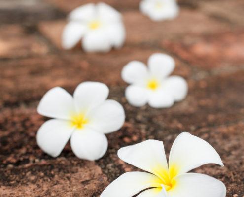 Five frangipani (plumeria) blossoms on stones