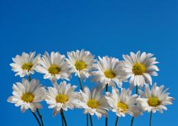 10 daisies