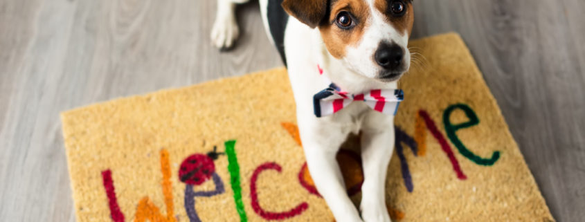 Jack Russell terrier posing on welcome mat